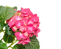 Red and pink Hydrangea flowers, hortensia close up isolated.  Royalty Free Stock Photography