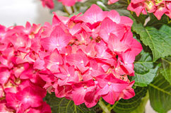 Red and pink Hydrangea flowers, hortensia close up isolated.  Royalty Free Stock Photo