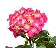 Red and pink Hydrangea flowers, hortensia close up isolated.  Stock Photography