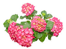 Red and pink Hydrangea flowers, hortensia close up isolated.  Stock Image