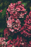 Red and Pink Hydrangeas Close Up Photography Stock Image