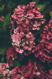 Red and Pink Hydrangeas Close Up Photography Stock Photos