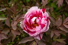 Red and pink Itoh Peony in spring garden royalty free stock images