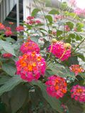 Red pink lantana camara flower on the backyard Stock Photo
