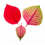 Red and Pink leaf Royalty Free Stock Photo