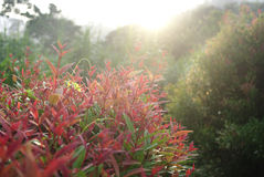 Red, pink leaves in sunlight Stock Image