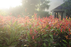 Red, pink leaves in sunlight Royalty Free Stock Photos