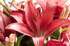 Red and pink lilies Stock Photos