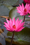 Red pink lily water lotus in thailand Royalty Free Stock Image
