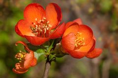 Red pink orange flowers of blooming Flowering Chaenomeles Japane. Se Quince close-up. saturated pink blossom on sunny spring day royalty free stock images