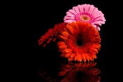 Red Pink Orange Gerbera flower Stock Photos