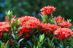 Red pink orange ixora spike flower green leaf rain drop Royalty Free Stock Images