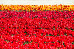 Red, pink, orange and white tulips during summer Stock Images