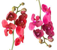 Red and pink orchids on the white background Royalty Free Stock Image