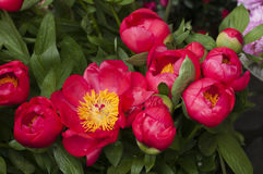 Red and pink paeon flowers Royalty Free Stock Photos