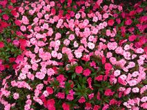 Red and Pink Petaled Flowers Royalty Free Stock Photo