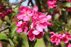 Red-pink plum flowers blossoms on the tree background.  Stock Image