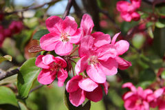 Red-pink plum flowers blossoms on the tree background.  Royalty Free Stock Image