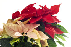 Red and pink poinsettie, Euphorbia pulcherrima Royalty Free Stock Photo
