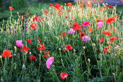 Red and pink poppies Stock Images