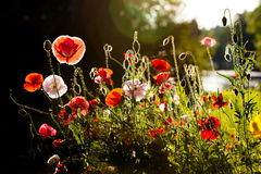 Red and pink poppies against dark background Royalty Free Stock Photography