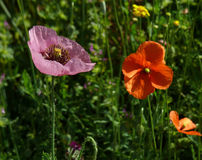 Red and pink poppies. In a meadow stock image