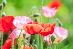 Red and pink poppy flowers in a field, red papaver. Poppies flowering Latin papaver rhoeas with the light behind stock photography