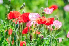 Red and pink poppy flowers in a field, red papaverRed and pink poppy flowers in a field, red papaver stock photos