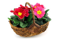 Red and pink primrose in a basket Royalty Free Stock Images