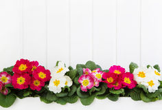 Red and pink primula on white wooden background for springtime i Stock Image