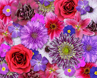 Red, Pink, Purple Flower Background Stock Images