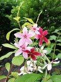 Red and pink rangoon creeper flowers. Rangoon creeper flowers blooming with red and pink color on nature background Stock Image