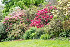 Red and Pink Rhododendrons. In a garden stock photos