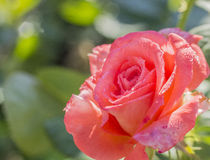 Red and pink rose. Beautifully shimmers in the sun with their dew drops stock image