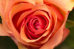 Red pink rose flower bud closeup Royalty Free Stock Photos