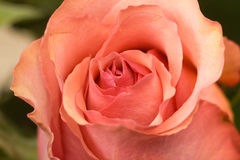 Red pink rose flower bud closeup Royalty Free Stock Photo