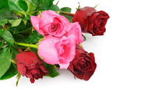 Red and pink rose flower  on white background Royalty Free Stock Image