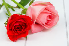 Red and pink rose Royalty Free Stock Image