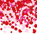 Red and pink rose petals  on white. Valentine background. Beauty fashion woman concept Stock Photography