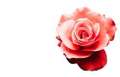 Red pink rose after the rain detail with several water droplets isolated on white background Royalty Free Stock Images