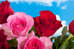 Red and pink roses Stock Images