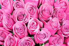 Red pink roses Royalty Free Stock Photography