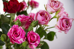 Red and pink roses. Background of flowers buds Royalty Free Stock Images