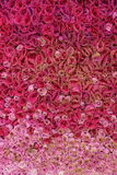 Red pink Seamless real roses background. A wall of plenty blooming roses in gradient ramp color Stock Photos