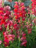 Red and pink snapdragon flowers Stock Photos