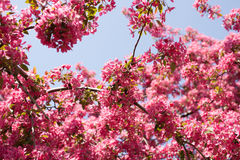 Red, pink spring tree, blossoming. Cherry flowers background Stock Photos