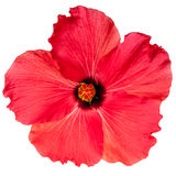 Red Pink Tropical Hibiscus Flower Stock Photo