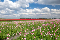 Red and pink tulip field Royalty Free Stock Image