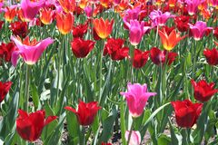 Red and Pink Tulip flowers Growing Stock Photos