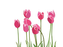 Red pink tulipes. With green leaves Royalty Free Stock Photo